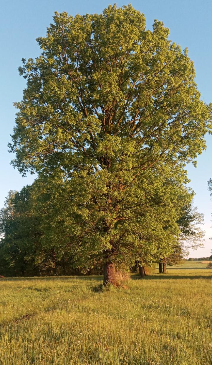 Zdj nr 19 Stare drzewo